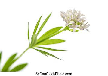woodruff, (galium, odoratum)