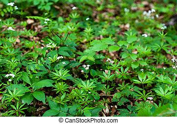 Woodruff white flowers
