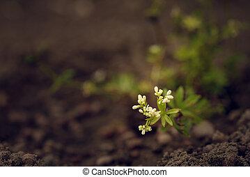 woodruff, zoet, bloem, komst