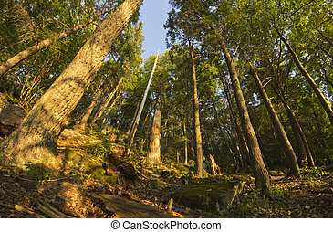 Woods Fisheye - Tall trees deep in the forest with fisheye...
