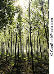 Beautiful woods of poplars in back light in a haze environment