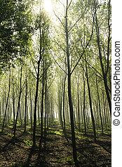 Woods with haze - Beautiful woods of poplars in back light...