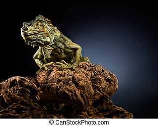 Portrait of green iguana on twisted tree branch, black background.
