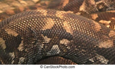 Woody Madagascar BOA this is not a poisonous snake, endemic...