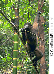 Wooly Monkey in the Amazonia of Ecuador