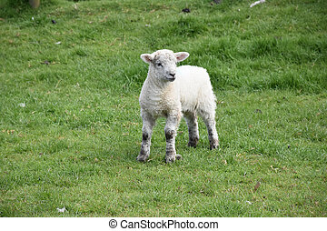Wooly White Lamb Standing in a Grass Field