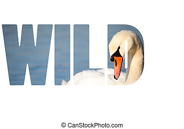 Word WILD Swans on the lake with blue water background