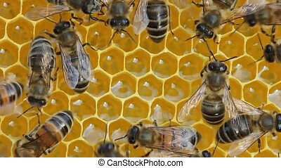 Work of young bees inside the hive. - Bees build honeycombs...
