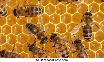 Work of young bees inside the hive - Bees build honeycombs...