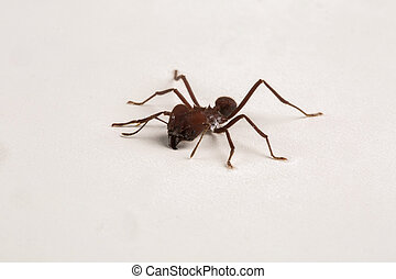 Worker ant on white background