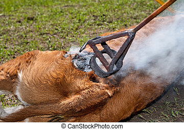 Worker applying a branding iron to a calf