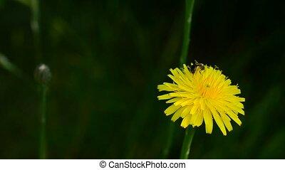 Worker bee collects pollen on yellow dandelion flower in summer