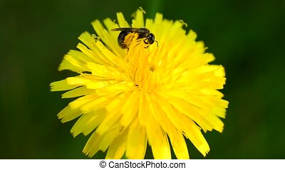 Worker bee collects pollen on yellow dandelion flower