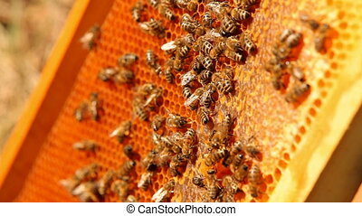Worker bees - Apiary with a large number of worker bees.