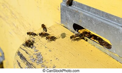 Worker bees on flight board at beehive entrance