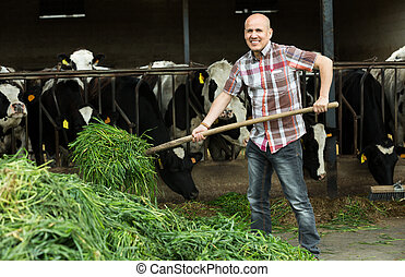 worker collecting grass - Senior cowman collecting grass ...
