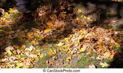Worker Collects Yellow Fallen Leaves in the Autumn Park...