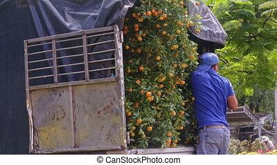 Worker Fixes Loaded Tangerine Trees before Transportation -...