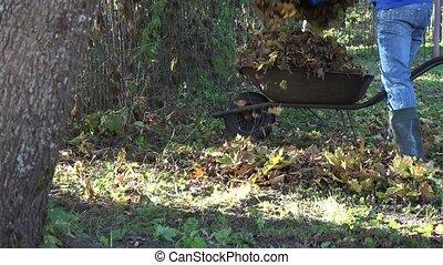 worker gather dru autumn leaves on old barrow in garden. 4K
