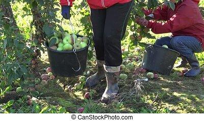 worker gather fresh apple in apple tree plantation harvest. 4K