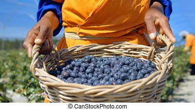 Worker holding blueberries in basket 4k - Close-up of ethnic...