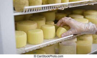 worker is putting formed cheese in a refrigerator into...