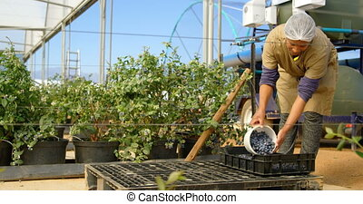 Worker putting blueberries in crate 4k - Front view of a ...