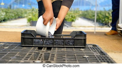 Worker putting blueberries in crate 4k - Surface level mid ...