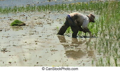 Worker Quickly Planting Rice - Steady, exterior, medium...