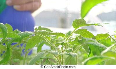 worker watering plants in greenhouse