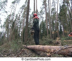 Worker with a chainsaw cleanning fallen trees in forest after storm.
