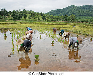 workers in rice paddy - thai farmers  in rice paddy