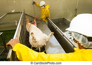 Workers Operating A Hair Removing Machine - Slaughterhouse...