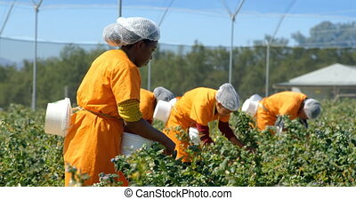 Workers picking blueberries in blueberry farm 4k