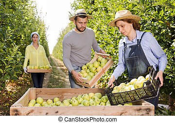 Workers putting harvested apples in crate