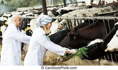 Workers taking care of cows - Adult professional workers in ...