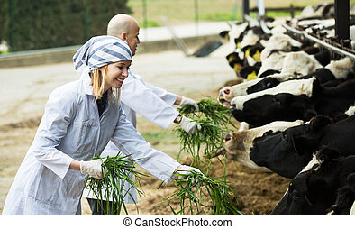 Workers taking care of cows - Happy adult professional ...
