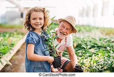 working., 女の子, 祖父, 小さい, シニア, 温室
