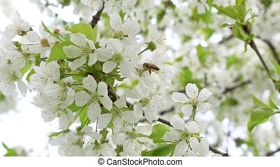 Working bee on a blossoming cherry tree, slow motion.