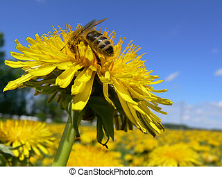 Working bee on a dandelion against blue sky