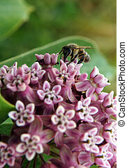Working bee on a flowers of Common Milk with a shallow depth...