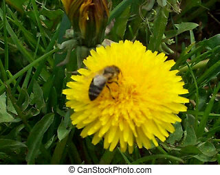 Working bee collecting pollen from a dandelion flower