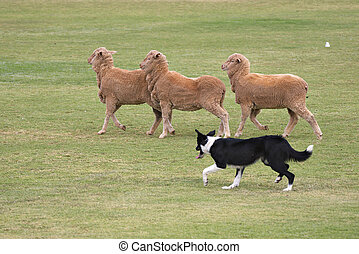 working dog - a working sheep dog (border collie)rounding up...
