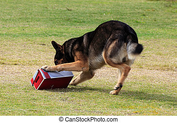 Working dog sniffing out drugs or explosives - Working...