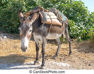 working donkey - A donkey carrying a traditional saddle, ...