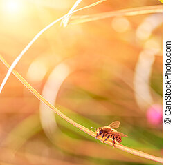 working honey bee on a dry blade of grass in the sun