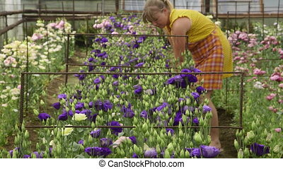 working in a flower greenhouse - Woman takes care of the...