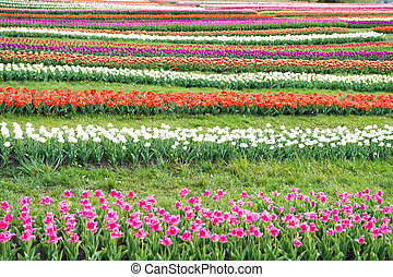 Working in greenhouse. famous tulips festival. Nature Background. group of colorful holiday tulip flowerbed. Blossoming tulip fields. spring landscape park. country of tulip. beauty of blooming field