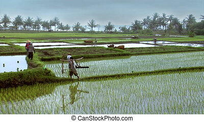 working on rice fields -wide