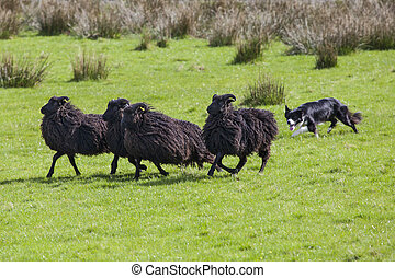 Working Sheep Dog - A sheep dog herding a flock of sheep on ...